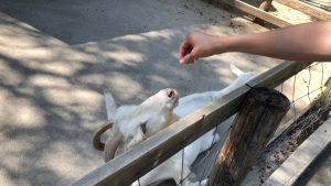 伊香保グリーン牧場のヤギ