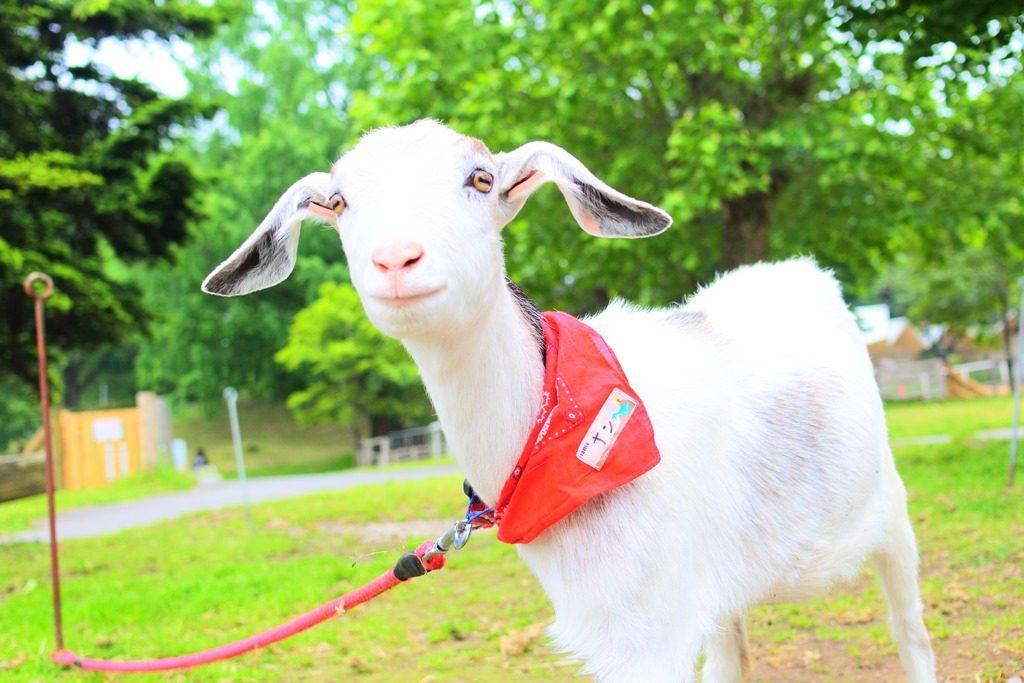 伊香保グリーン牧場の子ヤギ